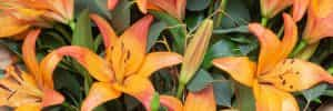 Mixed Lily Bouquet Care