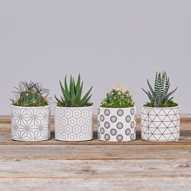four succulent plants in white ceramic pots 1