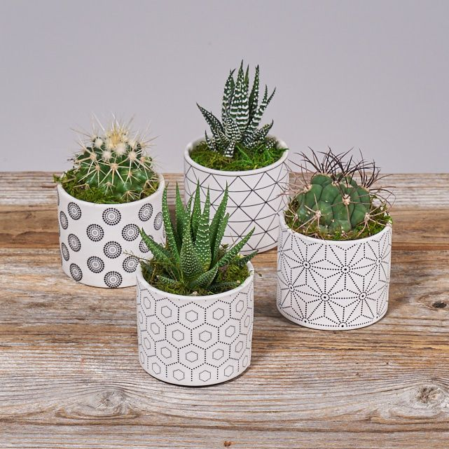 four succulent plants in white ceramic pots 2