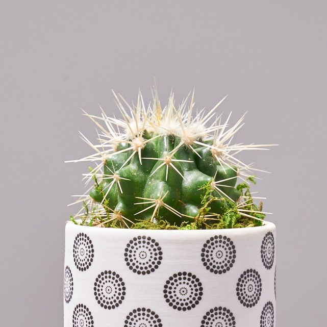 four succulent plants in white ceramic pots 3