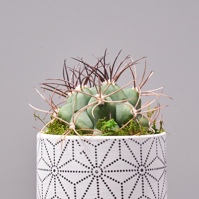 four succulent plants in white ceramic pots 4