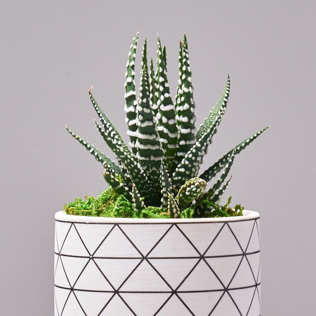 four succulent plants in white ceramic pots 5