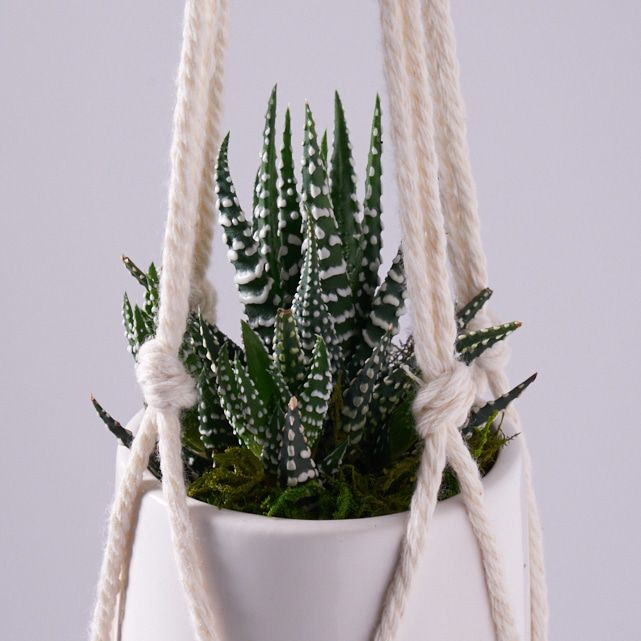 zebra succulent plant in white macrame hanging planter pot 3