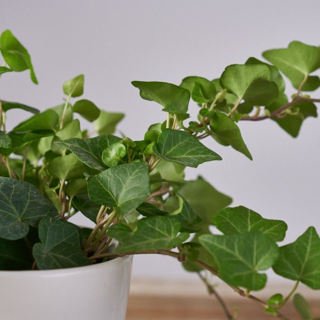 green ivy plant in white pot 3