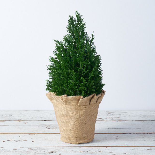 small fresh christmas tree in burlap covered pot 3