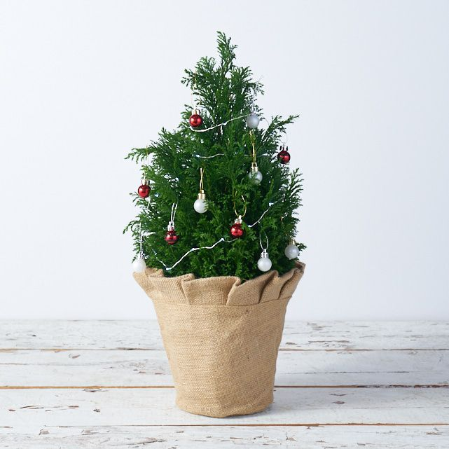 small fresh christmas tree in burlap covered pot 1