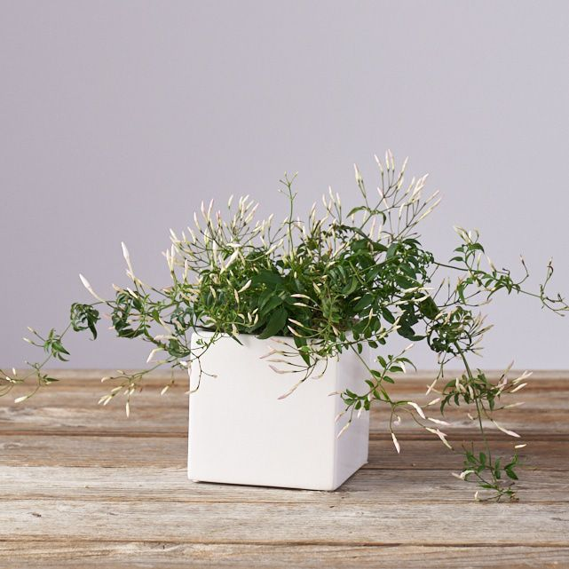 white jasmine plant in white square planter 1