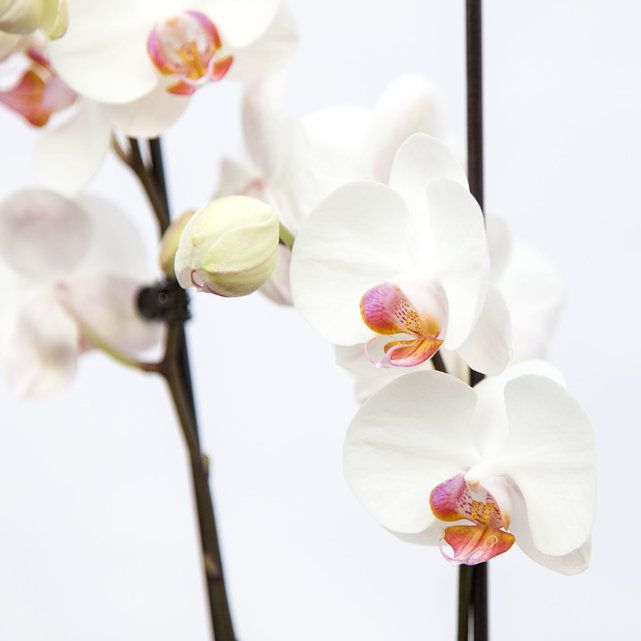 white orchid plant in biodegradable pot 4