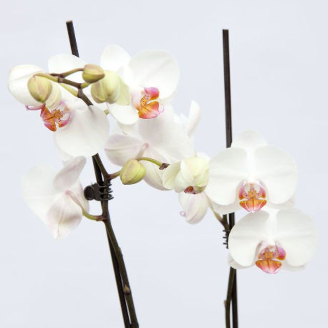 white orchid plant in biodegradable pot 5